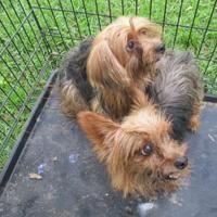 Inverness Fl Yorkie Yorkshire Terrier Meet Stray Donora