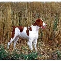 Brittany Spaniel.  Very pretty dog.  I'm not a hunter, but I bet this dog would be great hiking companion!