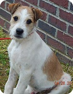 Wirehaired Fox Terrier/Border Collie Mix Puppy for adoption in West Sand Lake, New York - Petey(15 lb) New Pics & Video