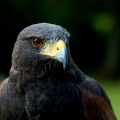 Harris Hawk by FurLined on DeviantArt