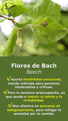 #floresdebach #ansiedad #adelgazar #estres #beneficios #en #español #beech #haya #remedies #salud #terapia #remedios #terapias #alternativas