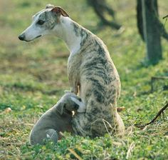 Whippet. Eee! I love sight hounds.