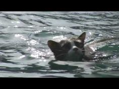 Who Says Cats Can't Swim? - YouTube