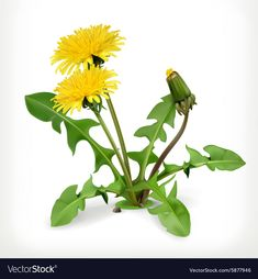 Are dandelion greens a weed ruining your lawn or a delicious gourmet food? Discussion of dandelion greens with recipes. Spring Flowers, Wild Flowers, Sunflower Sketches, Fruit Sketch, Cupcake Vector, Flora, Miniature Photography, Dog Icon, British Garden