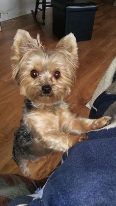 Looks like my kenie Cute Dogs And Puppies, I Love Dogs, Pet Dogs, Pets, Terrier Breeds, Dog Breeds, Yorky Terrier, Yorkshire Terrier Puppies, Yorkie Puppy