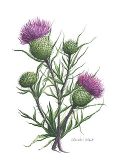 Alex paints original botanical watercolor artwork inspired by nature. Loves commissions, sells fine art giclee prints, paintings, and gift products. Watercolor Artwork, Watercolor Print, Botanical Illustration, Graphic Illustration, Scottish Thistle Tattoo, Magnolia Flower, Botanical Prints, Fine Art Prints, Drawings