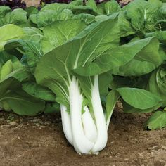 Johnnys -- Joi Choi Pac Choi -- fav, 50 days -- 250 seeds 4.10