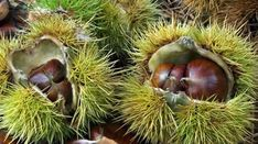 Stock Photo - Spiny cupules and chestnuts of the sweet chestnut tree / marron (Castanea sativa) amongst autumn leaves on the forest floor Sweet Chestnut, Chestnut Horse, Tree Id, Edible Wild Plants, Cottage In The Woods, Old Trees, Forest Floor, Deciduous Trees, Growing Tree