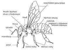 Výsledok vyhľadávania obrázkov pre dopyt včela medonosná vývojová stadia