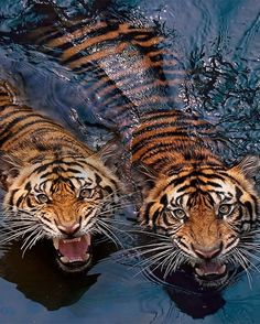 A true story about the tiger eating 400 peopel Nature Animals, Animals And Pets, Baby Animals, Cute Animals, Beautiful Creatures, Animals Beautiful, Tableau Pop Art, Images Esthétiques, Tier Fotos