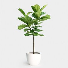The fiddle leaf fig tree, or ficus lyrata, is a species of plant within the fig genus native to the lowland tropical rainforests of Western Africa. This ficus typically begins its life as an epiphyte… Fig Tree Plant, Fiddle Leaf Fig Tree, Fiddle Fig, Ficus Lyrata, Self Watering Containers, Apartment Plants, Cozy Apartment, Plant Delivery, Indoor Planters