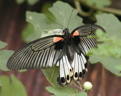 Great Mormon Butterfly: Great Mormon (Papilio memnon) is a large butterfly with contrasting colors that belongs to the Swallowtail family. A common South-Asian butterfly, it is widely distributed and has thirteen subspecies. The female is polymorphic and has mimetic forms.