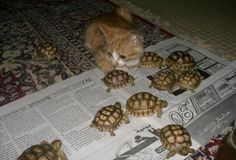 Two of my favorite things- cats and turtles!!