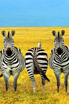 Zebra iPhone Wallpaper