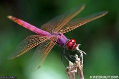 Dargonfly_by_kazirhut_com_1.jpg (600×400)