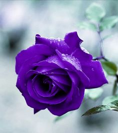 Beautiful Rose Flowers, Exotic Flowers, Love Flowers, Most Beautiful, Violet, Purple Flowers, Spring, Plants, Pictures