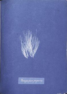 Bangia fusco-purpurea. (1843-1853), NYPL Digital Gallery