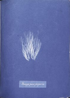 Bangia fusco-purpurea. (1843-1853)