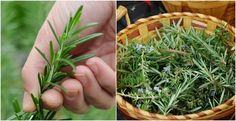Rosemary is for sure on the top of the list for the most aromatic herbs that you will ever use. It comes from the Mediterranean and has amazing flavor. How to harvest and prepare rosemary This herb Uses For Rosemary, Rosemary Plant, How To Dry Rosemary, Basil Plant, Rosemary Ideas, Mango Salsa, Herbal Remedies, Natural Remedies, Palate Cleanser
