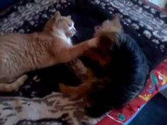 Kutya-macska barátság./ Hund und Katze Freunden/
