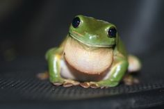 Green tree frogs are one of the most popular pet frogs. This article provides information about the green tree frog's natural characteristics and habit, and offers tips on how to care for them. Eat The Frog, Frog And Toad, Animal Spirit Guides, Spirit Animal, American Green Tree Frog, Tree Frog Terrarium, Tree Frog Tattoos, Whites Tree Frog, Frog Habitat
