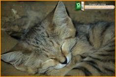 wildcat01-SandCat-sleeping - Gato-do-deserto divide o habitat com outros animais ferozes e muito mais fortes que ele , mesmo  está lá , firme e forte
