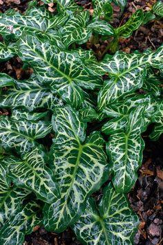 Arum italicum subsp. italicum 'Marmoratum',