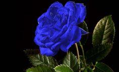 Růže Modrá