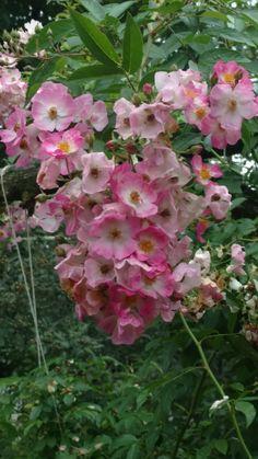 Ballerina rose, September 2018 Old Westbury Gardens, Ballerina, September, Rose, Gallery, Plants, Pink, Ballet Flat, Roof Rack