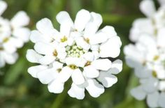 Planting and caring for Candytuft.  (bloom (image) has an interesting petal pattern) It is a white or pale pink perennial.