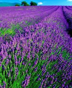 Lavender Field. Lavender oil is sometimes called a mother of essential oils.