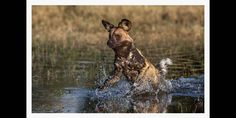 Action photographic image of an African Wild dog hunting through water in the Okavango African Wild Dog, Wild Dogs, Hunting Dogs, Panther, Wildlife, Action, In This Moment, Awesome, Nature