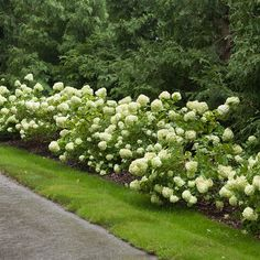 Little Lime Hardy Hydrangea Hydrangea paniculata Garden Height: 36 - 60 Inches Spacing: 36 - 60 Inches Spread: 60 Inches Flower Colors: Green Pink Light Requirement: Part Sun to Sun Bloom Time: Summer Hydrangea Paniculata, Limelight Hydrangea, Hydrangea Care, Hydrangeas, Hydrangea Landscaping, Backyard Landscaping, Landscaping Ideas, Inexpensive Landscaping, Landscaping Edging