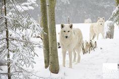 wolves woodland park zoo seattle