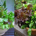How to Start a Salad Bowl Garden