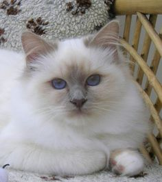I'm just obsessed with these birmans!! Lilac Birman