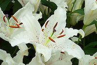 Lilium 'Muscadet' Lily Division VII white, spots