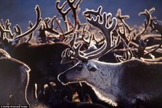 reindeer heard gather in siberia days before christmas