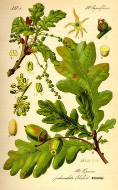 OAK. Roble (Quercus robur) Luchar desesperadamente contra la corriente y sin descanso. Dedicación obsesiva al trabajo. GRUPO: Para los que sufren por desaliento o desesperación.