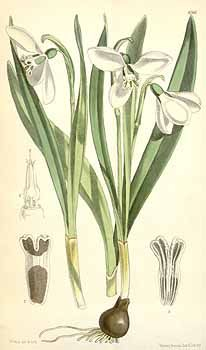 3633 Galanthus elwesii Hook.f. / Curtis's Botanical Magazine, vol. 101 [ser. 3, vol. 31]: t. 6166 (1875) [W.H. Fitch]