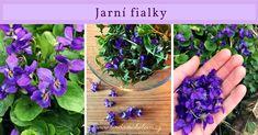 Jak vám fialka pomůže? Příroda je moudrá, proto nám na jaře nabízí bylinky, které pomáhají s potížemi, které se v brzkém jaru nejčastěji objevují. Jste na jaře zahlenění, unavení, máte nečistou pleť, trpíte nervozitou a snadno se rozhněváte? Korn, Projects To Try, Health Fitness, Nature, Plants, Gardening, Aromatherapy, Syrup, Health