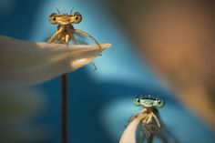 Remus Tiplea photographs close-ups of damselflies in his back garden in Negresti Oas, Romania, after coaxing the live bugs into position