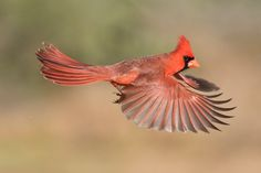 Image result for flying cardinal