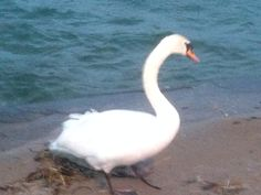 Swan on West Shore 1.1.14