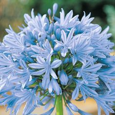 Agapanthus 'Headbourne Hybrids' seeds from Thompson & Morgan - experts in the garden since 1855 Hardy Perennials, Flowers Perennials, Planting Flowers, Colorful Flowers, Beautiful Flowers, Agapanthus Blue, Agapanthus Africanus, Biennial Plants, Flower Seeds