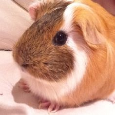 Lucy the great guinea