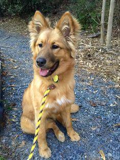 Prettiest puppy on Pinterest! German Shepherd/Collie mix
