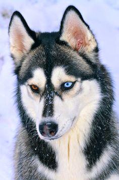 White Wolf: 20 Photos frappant de Huskies avec les yeux de couleur différente
