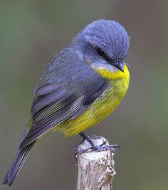 Eastern yellow robin (Eopsaltria australis) Золотобрюхая зарянковая мухоловка