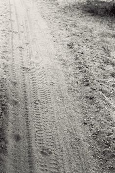 Safari Lion Tracks via Anne Street Studio